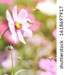cosmos flower with bees in... | Shutterstock . vector #1618697917