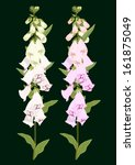 Digitalis Flowers With Dark...