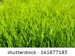 background of a green grass | Shutterstock . vector #161877185