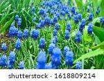 Spring Flowers Muscari   Flowe...