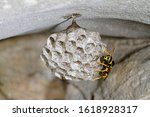 Paper Wasp On The Hanging Nest