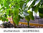 Green Pepper Vines On A Bush...