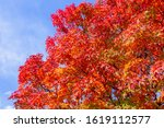japanese maples  red and yellow ... | Shutterstock . vector #1619112577