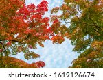 japanese maples  red and yellow ... | Shutterstock . vector #1619126674