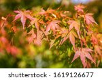 japanese maple leaf background... | Shutterstock . vector #1619126677