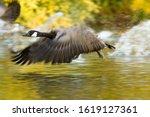 Canada Goose The Canada Goose ...
