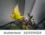 A Yellow And Green Budgerigar...