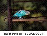 Budgerigar In The Cage Eating...