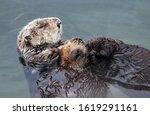 Endangered Sea Otter  Enhydra...