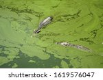 Crocodile Two Animal Under...