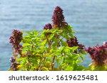 Beautiful Basil Plant In Full...