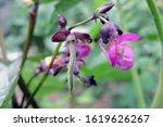 A Common Bean Purple Flower  A...