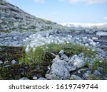 Fluffy White Mountain Flowers...