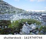 Fluffy White Mountain Flowers...