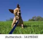 a tiny chihuahua on a grassy hill - stock photo