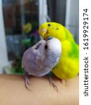 Kiss Of Two Budgies Sitting On...