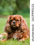 Small photo of Cavalier King Charles Spaniel, Male Dog standing on Lawn