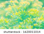 Gentle Flowers Of Dill In...