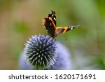 A Red Admiral Butterfly Gathers ...