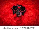 Suasage  Dachshund Dog Lying In ...