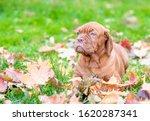 Dogue De Bordeaux Puppy Lies In ...