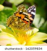 Closeup Monarch Butterfly...