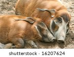 Two Red River Hogs Sleeping