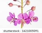 Fireweed flower close-up isolated on white background.