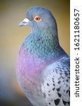 Rock Dove Or Common Pigeon Or...