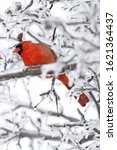 Small photo of A Red Cardinal Bird on a Branch in the Woods. The cardinal is the state bird of Illinois, Indiana, Ohio, Kentucky, North Carolina, Virginia, and West Virginia. The cardinal in this picture pops out be