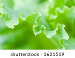 Fresh Lettuce Leaf Macro