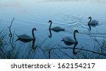 Four Swans On A Blue Pond