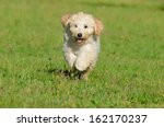 Goldendoodle Dog Puppy 3 Month...