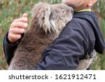 Rescued koala in australia...