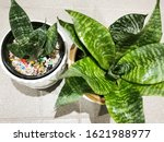 Snake Plants In Pots  Air...