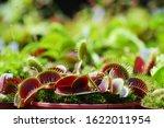 Dionaea Muscipula Red color. Venus Flytrap - Predatory plant, Carnivorous Plant