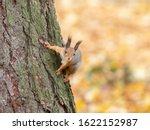 Euroasian Red Squirrel....