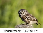 Little Owl Standing On Concrete ...
