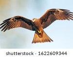 Black kite showing its full wingspan during flight