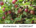 Small photo of Fresh red gooseberries on branch of gooseberry bush in the fruit garden. Close-up view of organic gooseberry berries hanging under the leaves.