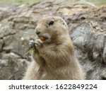 Portrait Of A Prairie Dog...