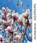 Beautiful Pink Spring Magnolia...