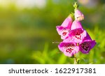 Digitalis Purpurea Flower ...