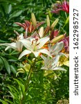 Small photo of Lilium represent love, ardor and affection for your loved ones, while orange lilies symbolize happiness and warmth. Lilium longiflorum, an Easter lily, is a symbol of Easter