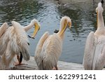 Pelicans On The Shore Resting