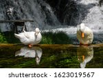 White Ducks Portrait. Ducks...