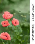 Delicate Pink Poppies On A...