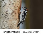 Male Hairy Woodpecker Perched...