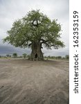 Small photo of Baobab tree, Adansonia digitata, on grassland in Tanzania