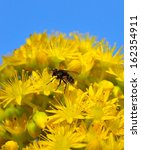 Small photo of Small common fly sucking delicious pollen on a large cluster of yellow flowers of aeonium undulatum, spring wildflowers natural of canary islands on a radiant blue sky in background